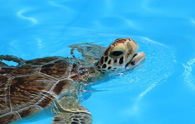 Turtle from Local Marathon Turtle Hospital