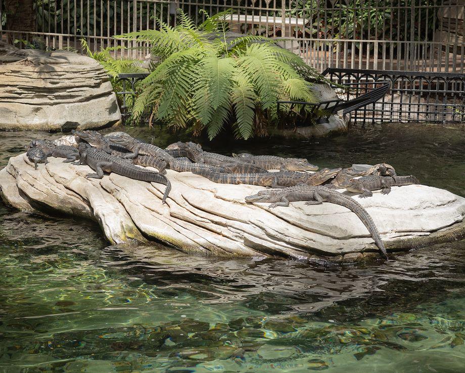 Alligators on rocks at Gaylord Springs at Gaylord Palms Resort
