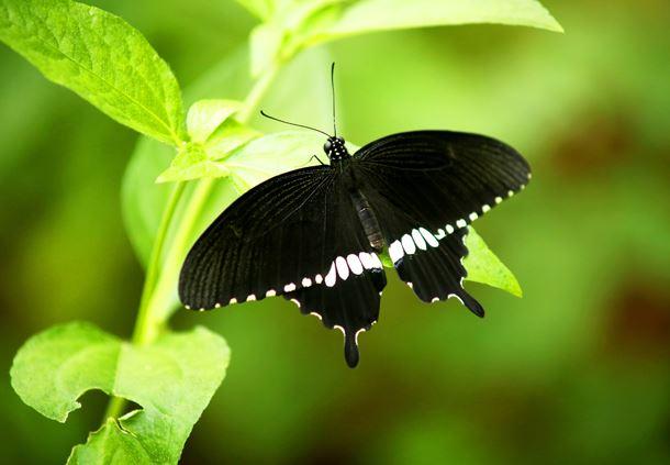 Male Papilio polytes