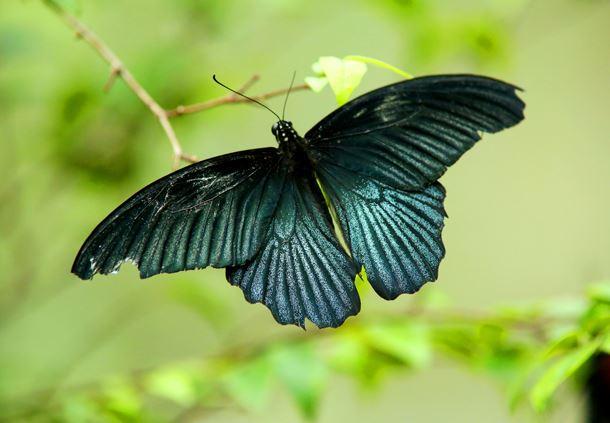 Male Papilio memnon