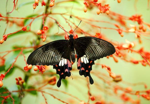 Female Papilio polytes