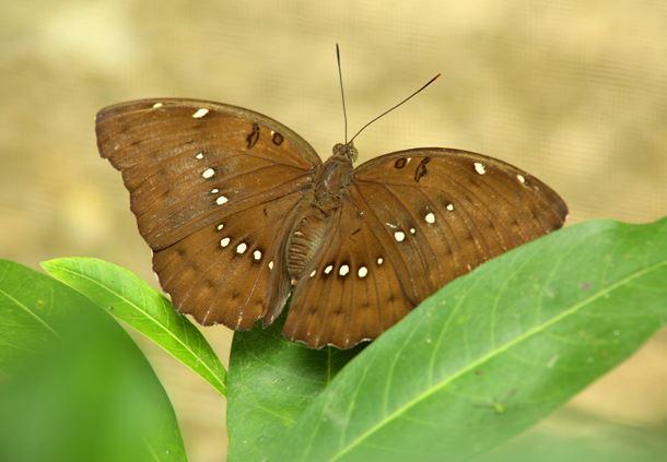 Euthalia dunya