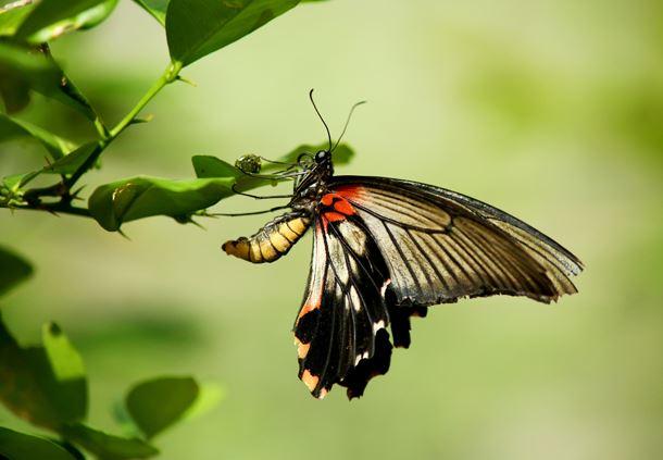 Female Papilio memnon
