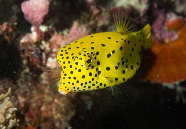 Juvenile Yellow Boxfish