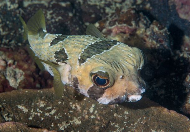 Black Botched Porcupinefish