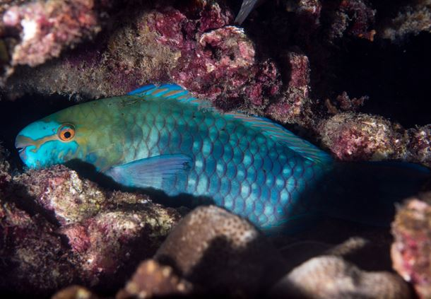 Bluebarred Parrotfish