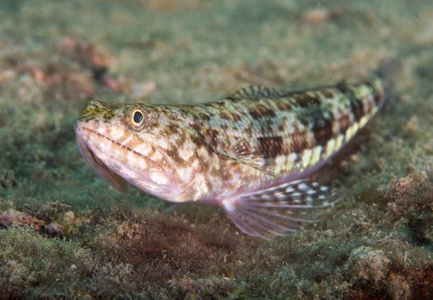 Sand Lizardfish
