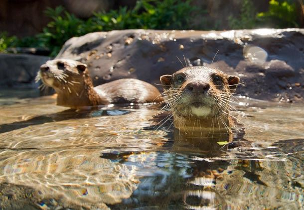 Freshwater Otters