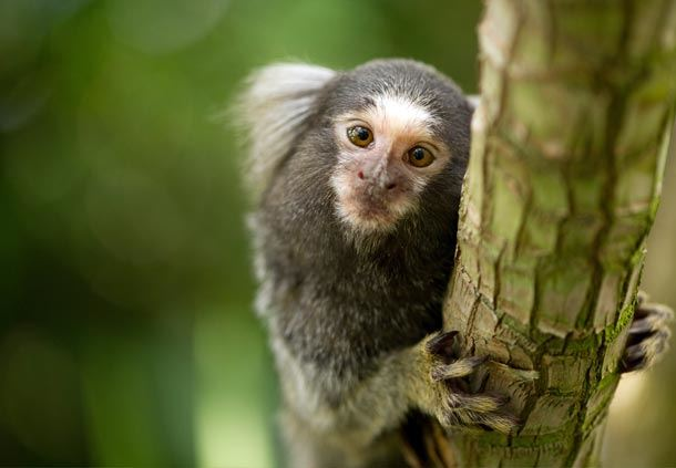 Marmosets at Discovery Cove