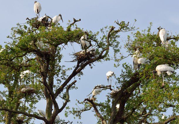 Wood Storks Nesting in the Wild