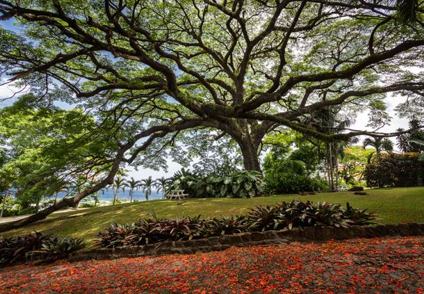 Caribelle - Historic Tree