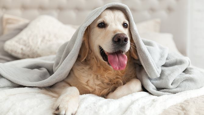 tulbr_PetFriendly_dogundercovers